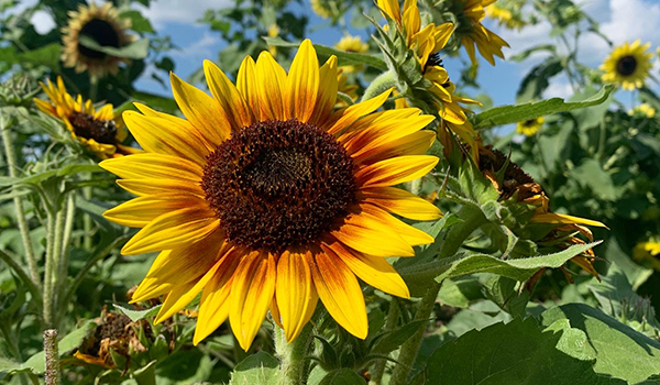 Sunflower_blogbanner