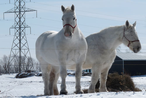 Rolling Sands Percherons