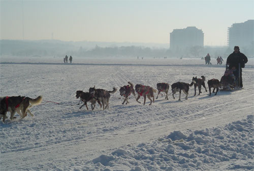 Dog Sledding at Winterfest, Barrie
